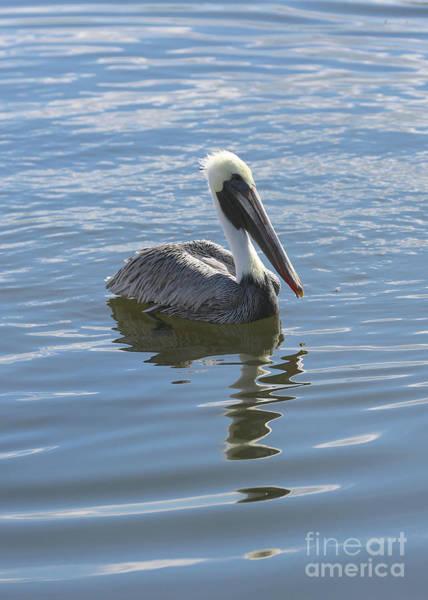 Wall Art - Photograph - Sweet Brown Pelican In Blue Water by Carol Groenen