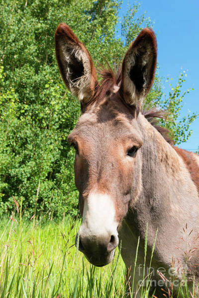 Photograph - Sweet Burro In Cripple Creek by Steve Krull