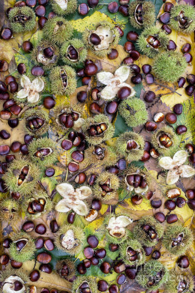 Casing Wall Art - Photograph - Sweet Chestnuts by Tim Gainey
