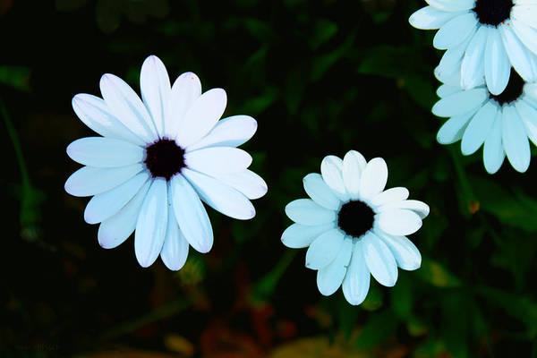 Photograph - Sweet Daisy by Susan Vineyard