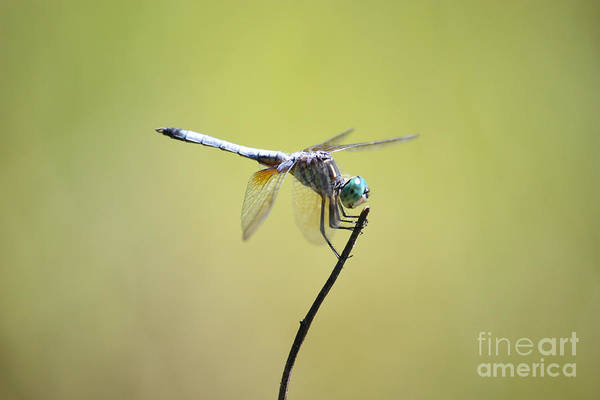 Photograph - Sweet Dragonfly In Green by Carol Groenen