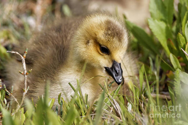 Photograph - Sweet Gosling by Sue Harper