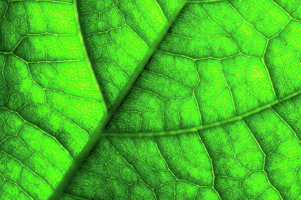 Photograph - Sweet Green Leaf by John Williams