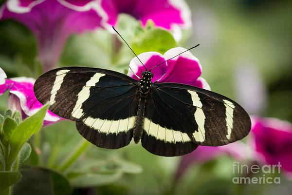 Photograph - Sweet Little Butterfly by Ana V Ramirez
