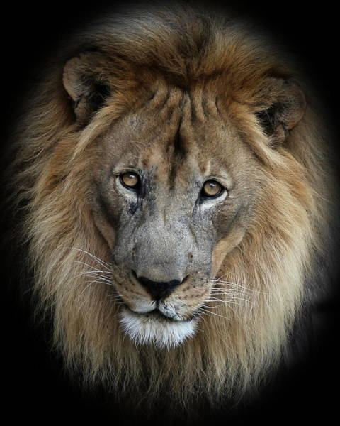 Photograph - Sweet Male Lion Portrait by Debi Dalio