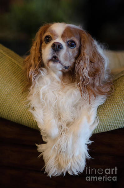 Photograph - Sweet Miss Daisy Dog Portrait Perched Atop Couch by Dale Powell