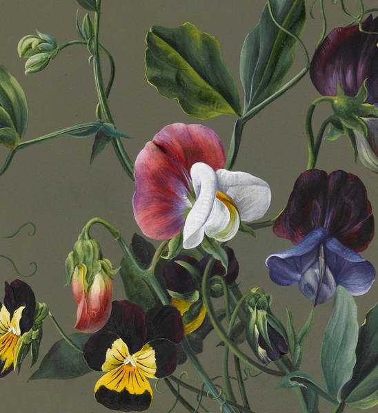 Sweet Drawing - Sweet Peas And Violas by Louise D'Orleans