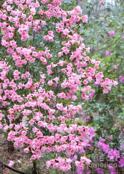 Photograph - Sweet Pink Southern Azaleas by Carol Groenen