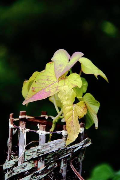 Photograph - Sweet Potato Vine by Allen Nice-Webb