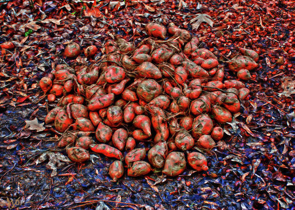 Photograph - Sweet Potatoes As Deer Food by Gina O'Brien