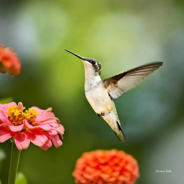 Wall Art - Photograph - Sweet Promise Hummingbird Square by Christina Rollo