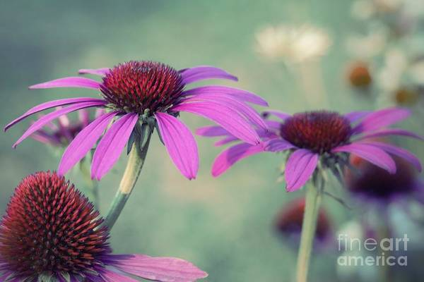 Photograph - Sweet Purple Coneflowers by Patricia Strand