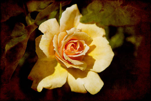 Photograph - Sweet Rose by Milena Ilieva