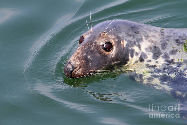 Photograph - Sweet Seal by Paula Guttilla