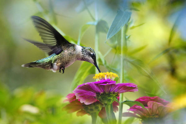 Beautiful Hummingbird Photograph - Sweet Success by Christina Rollo