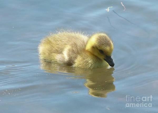 Gosling Photograph - Sweet Swimming Gosling by Carol Groenen