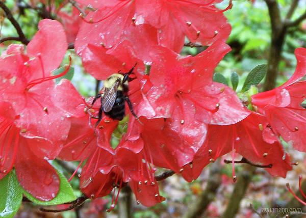 Photograph - Sweet To Be An Azalea Tree by Kristin Aquariann