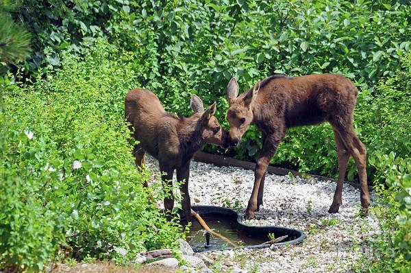 Photograph - Sweet Twin Moose Calves by Cindy Murphy
