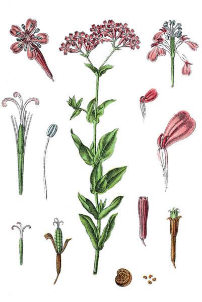 Sweet William Drawing - Sweet William Catchfly, Silene Armeria  by Bildagentur-online