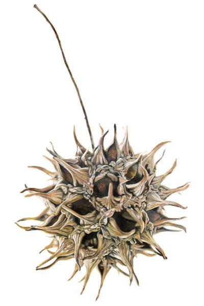 Clovis Painting - Sweetgum Seed Pod by Clovis Rusk