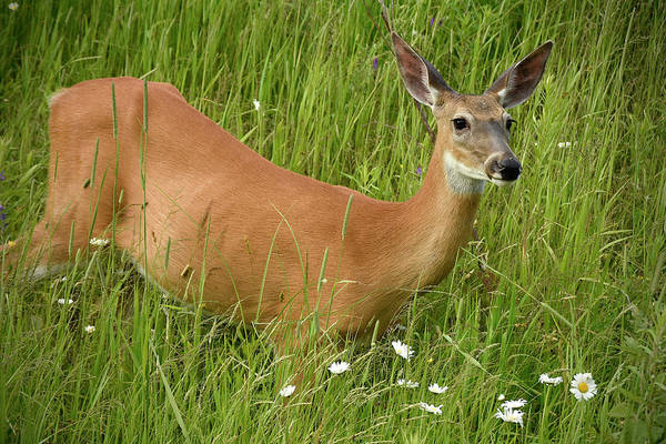 Wall Art - Photograph - Sweetheart Doe by Justin Mountain