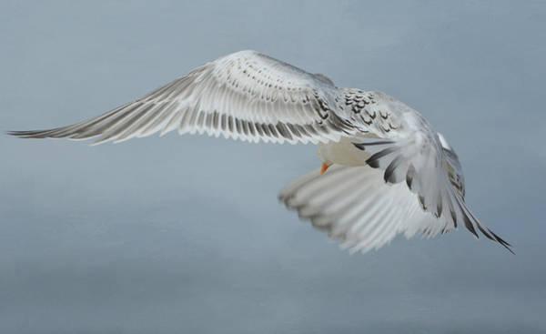 Elegant Tern Wall Art - Photograph - Swerve by Fraida Gutovich