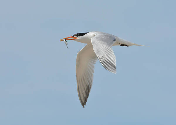 Photograph - Swift Catch 2 by Fraida Gutovich