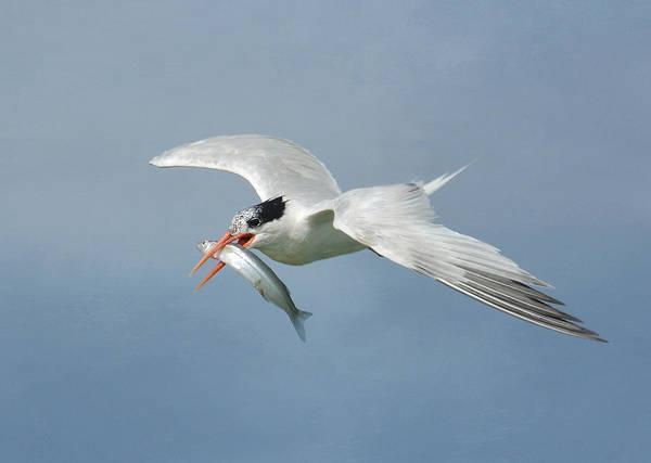 Elegant Tern Wall Art - Photograph - Swift Catch by Fraida Gutovich