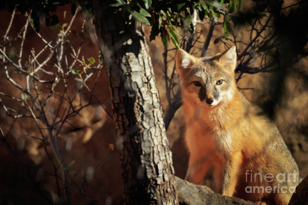 Photograph - Swift Fox by Richard Smith