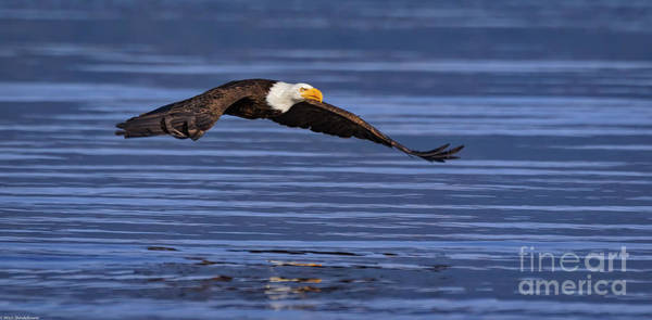 Eagle In Flight Photograph - Swift by Mitch Shindelbower