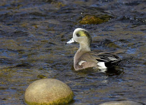 Photograph - Swim Like A Duck by Judi Dressler