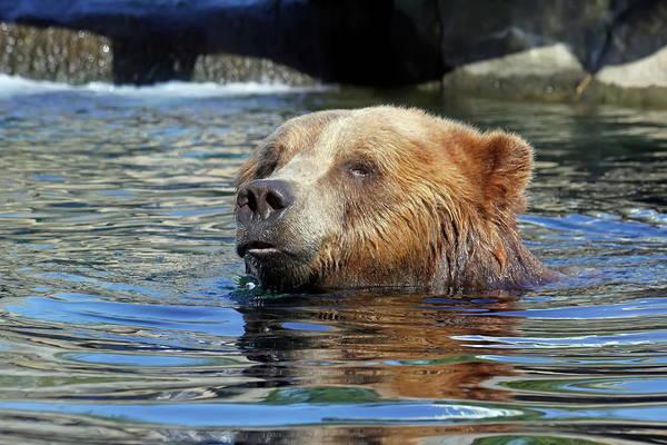 Nfs Photograph - Swimming Brown Bear by Daniel Caracappa