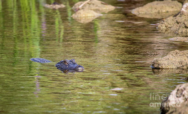 Photograph - Swimming Gator by Tom Claud