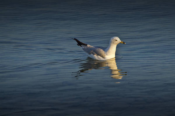 Photograph - Swimming Gull On Lake Michigan by Randall Nyhof