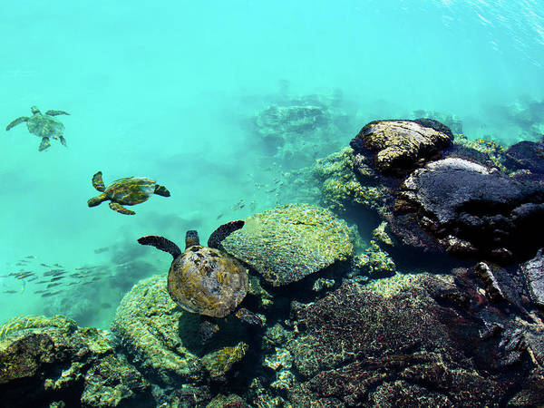 Turtle Photograph - Swimming Honu by Christopher Johnson