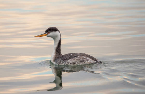 Photograph - Swimming In The Sunset by Loree Johnson