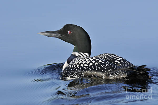 Photograph - Swimming Loon by Larry Ricker