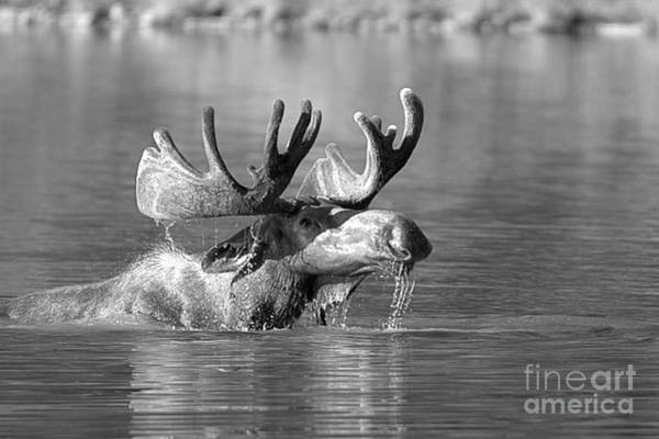 Photograph - Swimming Moose Drool Black And White by Adam Jewell