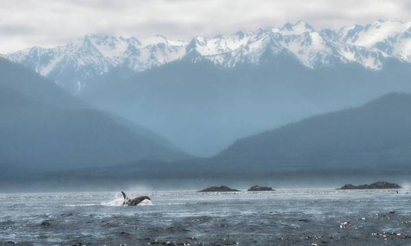 Save The Whales Photograph - Swimming Orca Strait Of Georgia by Dan Sproul