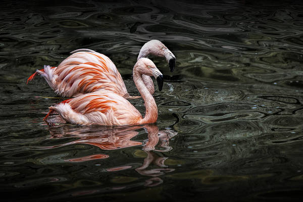 Photograph - Swimming Pink Flamingos by Randall Nyhof