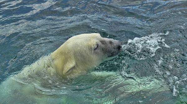 Photograph - Swimming Polar Bear by Dan Sproul