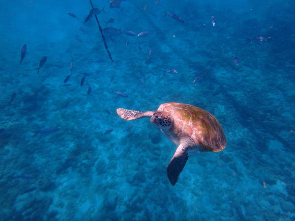Photograph - Swimming Sea Turtle by Kimberly Perry