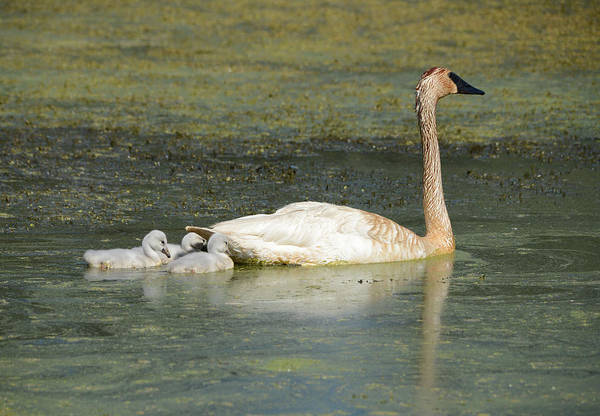Wall Art - Photograph - Swimming Swans by Whispering Peaks Photography