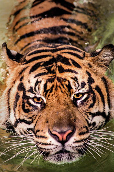 Photograph - Swimming Tiger by Don Johnson