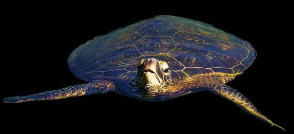 Photograph - Swimming Turtle by Pamela Walton