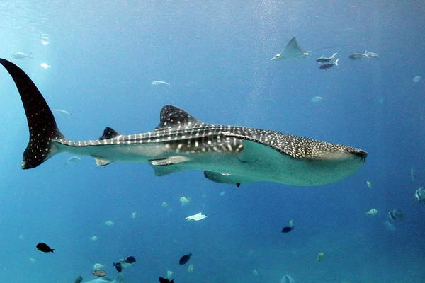 Nfs Photograph - Swimming Whale Shark by Daniel Caracappa