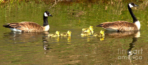 Photograph - Swimming With The Youngsters In Teton by Adam Jewell