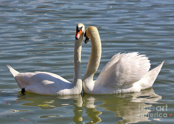Together Forever Photograph - Swooning Swans by Carol Groenen