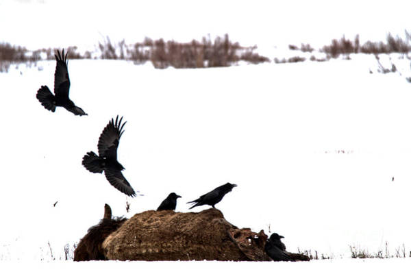 Photograph - Swooping In On The Bison Carcass by Adam Jewell