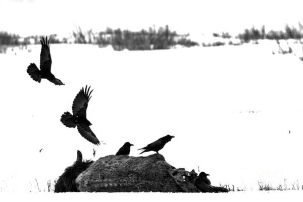Photograph - Swooping In On The Bison Carcass Black And White by Adam Jewell